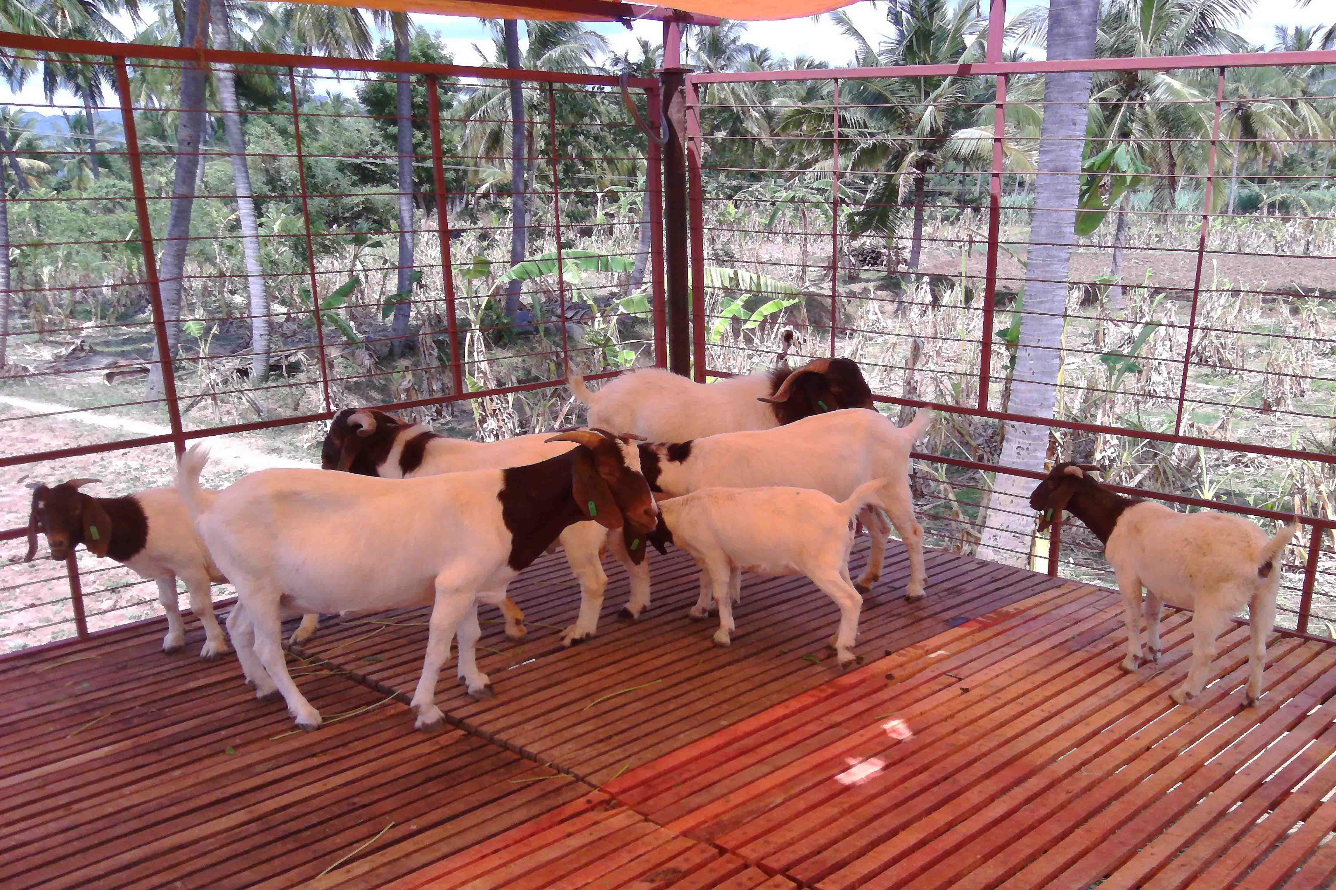 Goat Farming - Goat Farm Developers